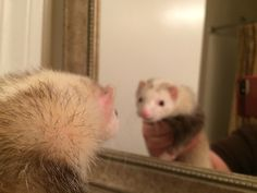Patches the ferret discovers herself ❤️