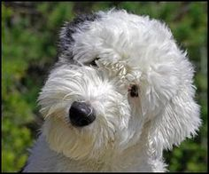 Old English Sheepdog puppy Beautiful Dogs, Animals Beautiful, Cute Animals, Happy Animals, Pretty Animals, Cute Puppies, Cute Dogs, Dogs And Puppies, Doggies