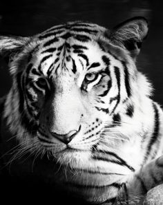 'Pure Beauty' by Picture-It-All Tiger Love, Black Tigers, Small Cat, Cheetahs, Siberian Tiger, All Gods Creatures, Pretty Cats, Pure Beauty, Big Cats
