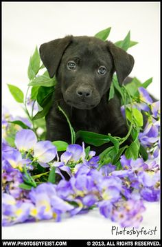 A black lab puppy in a pile of wisteria. (Spring dog). Love this photo? Re-pin it!