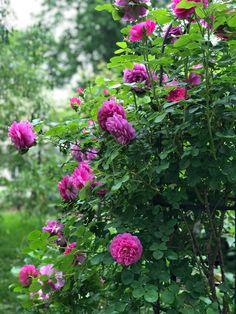 David Austin Roses, Garden, Plants, Garten, Lawn And Garden, Gardens, Plant, Gardening, Outdoor