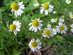 """Growing Chamomile.  For Winter: """"Trim the chamomile plants down to the ground in autumn, using garden shears or a weed trimmer. Cover the plants with 3 or 4 inches (8 to 10 cm) of insulating material such as dried leaves or straw to protect the plants during the winter, then rake the insulating material away in spring."""""""