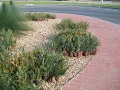 Image result for banksia blechnifolia