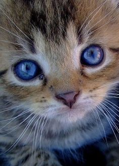 Adorable kitty with beautiful blue eyes