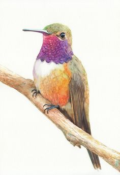 Rufous Hummingbird - 1