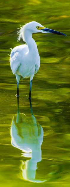 The Exquisite Snowy Egret
