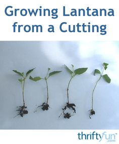 This is a guide about growing lantana from a cutting. Try getting cuttings from the tips of the plant for the best success.