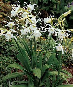 Peruvian Daffodil - Exotic fringed flower heads and bold fragrance distinguish these Peruvian daffodils that are ready to breathe new life into your garden. - Grows to 18'' to 24'' H Perennial Bloom period: midsummer Full sun Hardiness zones: 3-10