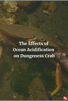 While many of the world's leaders plug their ears to climate science, the proof of ocean acidification can be seen on marine life like the Dungeness crab.