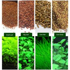 6 Pack Water Plant Seeds Water Grass Seed Cow hair LOVE Lucky Seeds Easy Aquatic Live Grow Plants Fish Tank Decoration Landscape Ornament Aquarium Decor Planting Method: * No water planting (Recomm… Saltwater Aquarium Fish, Saltwater Tank, Planted Aquarium, Diy Aquarium, Aquarium Ideas, Aquarium Setup, Nano Aquarium, Fish Aquariums, Tropical Freshwater Fish