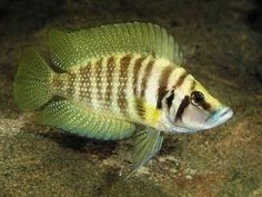 African Cichlids Beginners Guide and Tips … Aquarium Algae, Tropical Aquarium, Tropical Fish, Lac Tanganyika, Cichlid Fish, Cool Fish, Underwater Creatures, African Cichlids, Beautiful Fish