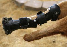 Nakio, el primer perro biónico del mundo El perro de las imágenes ha vuelto a caminar después de ponerle cuatro prótesis en las patas.