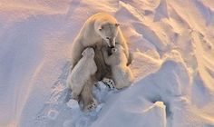 Polar Bear Nursing Cubs