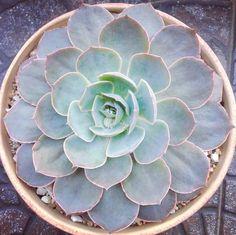 Succu-love — Esta preciosa crece por día.. Y se prepara para...