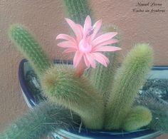 Cleistocactus winteri / Cactus sin fronteras / Manuel Licona