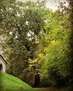Lestans - vecchia quercia presso San Zenone