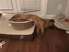 dog makes one giant dog bed