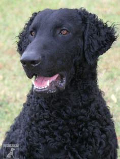 curly coated retriever dog curly coated retriever