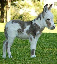 Miniature Mediterranean Donkey.  Aw!