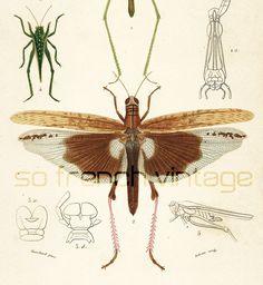1861 Insecte Criquet gravure ancienne Ch. d' Orbigny Original Qualité Exceptionnelle Histoire Naturelle Lithographie peinte à la main de la boutique sofrenchvintage sur Etsy