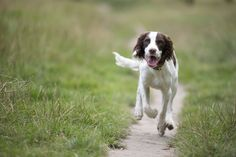 We love us some springer spaniel!! (Paw Pixels, Pet Photography London)