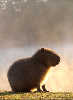 Capybara. Mom is gonna get this as a gag gift one day. It will make for a nice trip to Texas with my hubby!