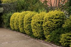 GardenDrum golden duranta hedge balls Duranta, Green Backgrounds, Top Knot, Hedges, Evergreen, Balls, Sidewalk, Country Roads, Backyard