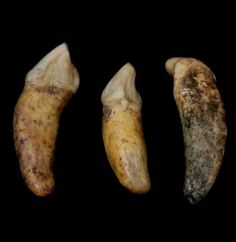 Fossil - Cave Bear Incisor