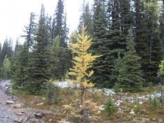 Chester Lake larches