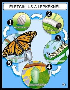 The Life Cycle of a Butterfly Chart - Carson Dellosa Publishing Education Supplies Preschool Science, Teaching Science, Science For Kids, Science And Nature, Ag Science, Senses Preschool, Butterfly Life Cycle, Chenille, Hungry Caterpillar