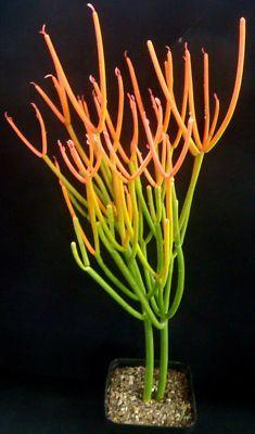 Euphorbia tirraculli 'FIRE STICKS' succulent