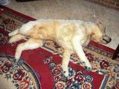 تفسير رؤية الكلاب الميتة فى الحلم Dogs, Animals, Animales, Animaux, Pet Dogs, Doggies, Animal, Animais