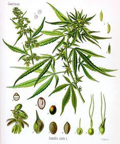 Cannabis sativa / Hennep  Hallucinogens