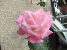 The last rose for 2015 on my balcony!