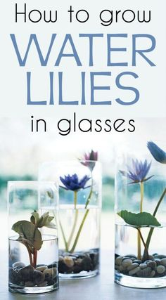 how to grow water lilies in glasses. - ve - Learn how to grow water lilies in glasses. -Learn how to grow water lilies in glasses. - ve - Learn how to grow water lilies in glasses. - 休日に♪ 楽しいキッチンガーデニング Flower color is same as shown in the picture when . Hydroponic Gardening, Organic Gardening, Container Gardening, Gardening Tips, Indoor Gardening, Vegetable Gardening, Kitchen Gardening, Gardening Quotes, Container Water Gardens