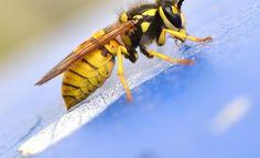Einzeln und unaufgebracht lässt es sich meist sehr gut mit Wespen aushalten. Fühlen sie sich aber bedroht, kann es gefährlich werden
