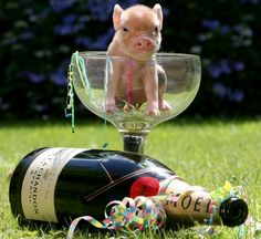 Teacup Piglets, Cute Piglets, Pet Pigs, Baby Pigs, This Little Piggy, Little Pigs, Micro Mini Pig, Amazing Animal Pictures, Funny Pictures