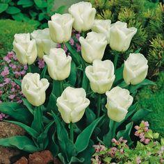 Singolo precoce Tulip Calgary - 7 pezzi