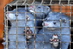 The Netherlands is the world's fourth largest producer of mink fur. Here's how that all changed yesterday afternoon:
