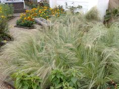 stipa grass | 06102008 Feather Grass Stipa tenuissima (grass perennial)