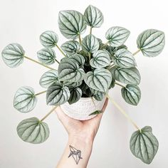 Expand Good Tomatoes Working With Container Gardening Techniques Peperomia Caperata Silver Planting Succulents, Garden Plants, Indoor Plants, Planting Flowers, Plantas Indoor, Belle Plante, Decoration Plante, Pot Plante, Plants Are Friends