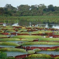 Lindo registro da vitória régia no Pantanal Matogrossense. Conheça! Foto: Embratur.