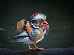 """Mandarin pose"" by gregsinclair | Colorful Birds #Photography Contest Winners - ViewBug.com"