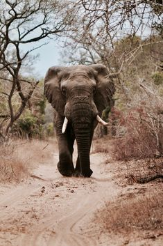 128 Best Africa Travel Destinations images in 2020 Bull Elephant, Elephant Walk, Elephant Love, Elephant Sketch, Elephant Facts, Elephant Pictures, Elephants Photos, Baby Elephants, African Elephant