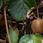 Kedy strihať kiwi Kiwi, Pear, Fruit, Garden, Garten, Gardens, Lawn And Garden, Tuin