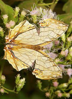 Common Map Butterfly (Cyrestis thyodamas, Nymphalidae)   Pu'er, Yunnan, China