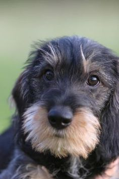 Too cute, wire haired sausage dog puppy