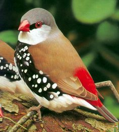 Diamond Firetail Finch. Stylin'