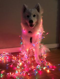 """I love Christmas for this reason 🎄😍 protect-and-love-animals: """""""" Cute Baby Animals, Animals And Pets, Funny Animals, Beautiful Dogs, Animals Beautiful, Samoyed Dogs, Dog Wallpaper, Cute Dogs And Puppies, Cute Creatures"""