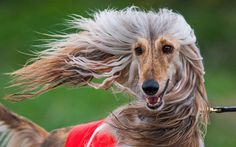 Afghan Hound 'Golea's Varvara' takes part in a competition at the International Greyhound Race in Wismar, Germany. About 120 greyhounds participated in the various categories at the event organised by the Greyhound Friends Society of Mecklenburg-Western Pomerania.